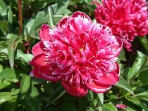 573da88f0c419-paeonia-lactiflora-kansas-double