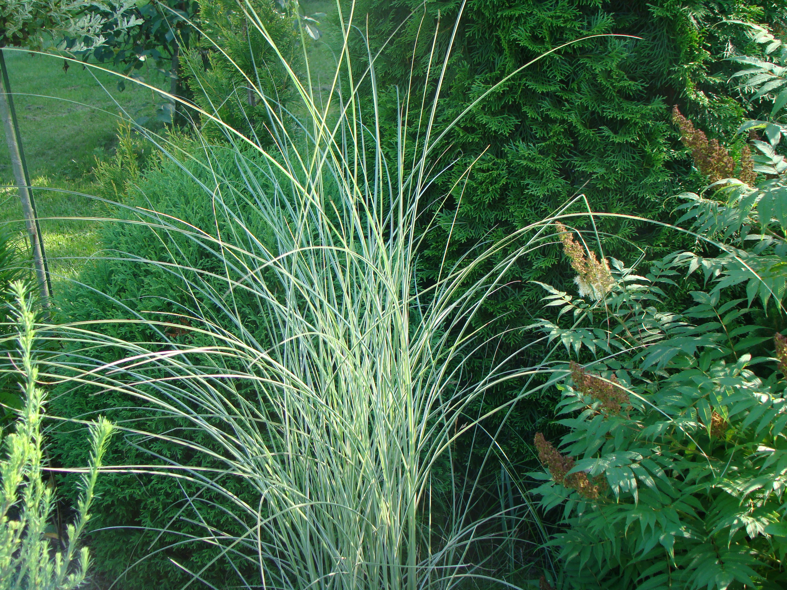 Miscanthus sinensis  ``Morning Light``
