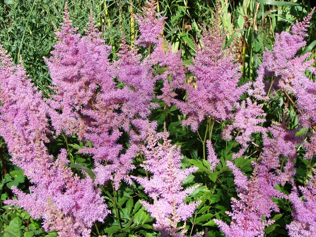 Astilbe chinensis ``Pumila``