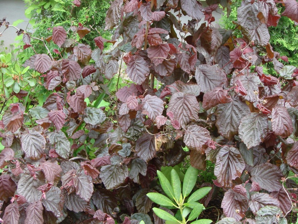 Corylus avellana ``Red Majestic``