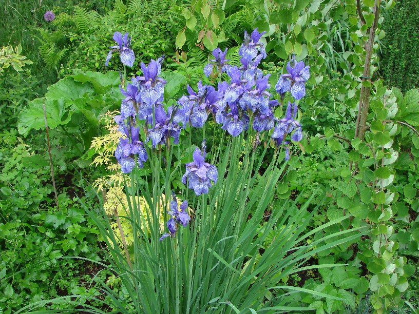 Iris sibirica ``Superba``