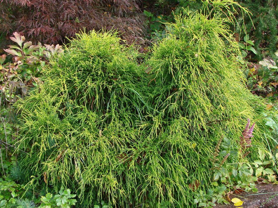 Chamaecyparis pisifera  ``Filifera Sungold``