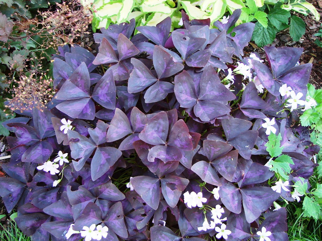 Oxalis triangularis  ``Purpurea``