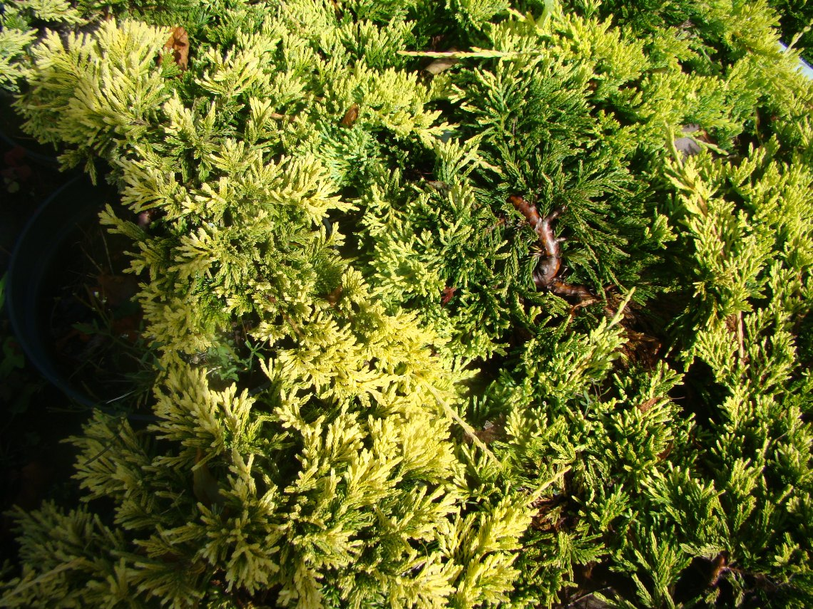 Juniperus horizontalis ``Golden Carpet``
