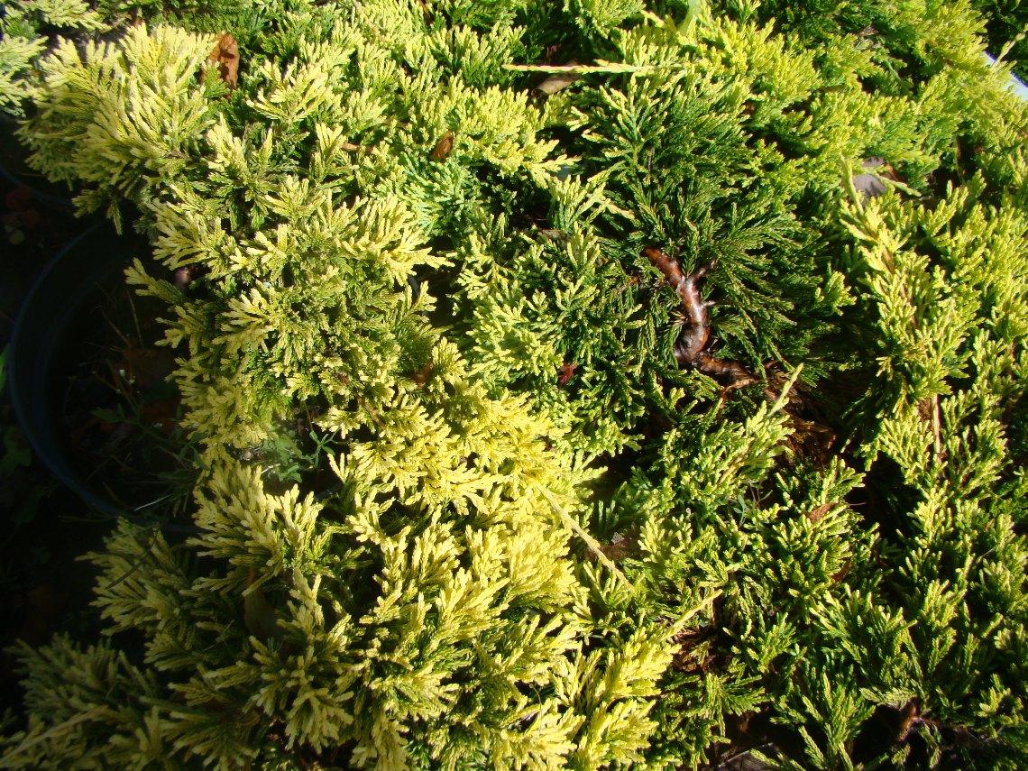 Juniperus horizontalis ``Golden Carpet``