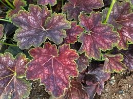 Heuchera ``Color Beauty``