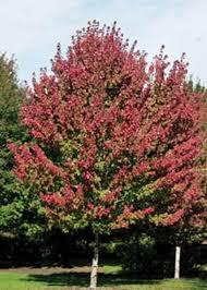 Acer rubrum ``Burgundy Belle``