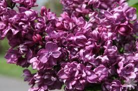 Syringa vulgaris ``Charls Joly``