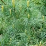 "Veimutpriede ""Mary Butler"", Pinus strobus ""Mary Butler"", Lepes"