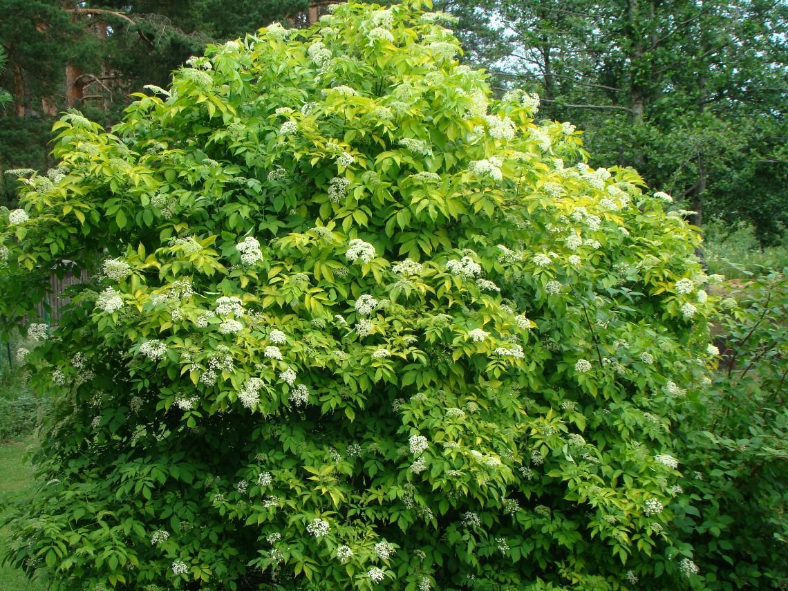 Sambucus nigra ``Aurea``