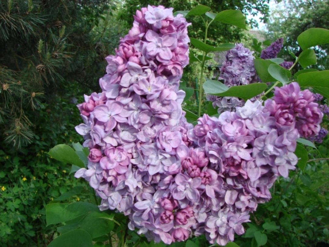 Syringa vulgaris ``Dobeles Sapņotājs``