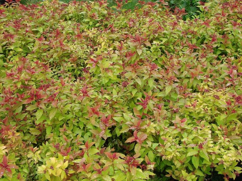 Spiraea japonica ``Magic Carpet``
