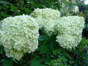 Skarainā hortenzija`Limelight