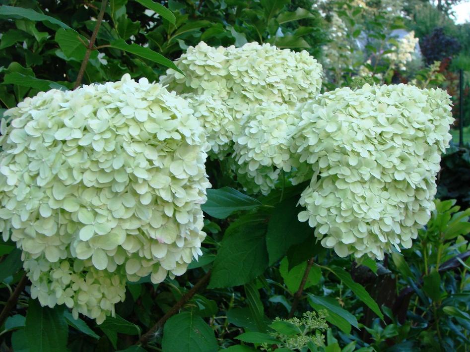 "Skarainā hortenzija""Limelight"", Hydrangea paniculata""Limelight"", Lepes"