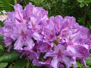 Rododendrs Lees dark Purple