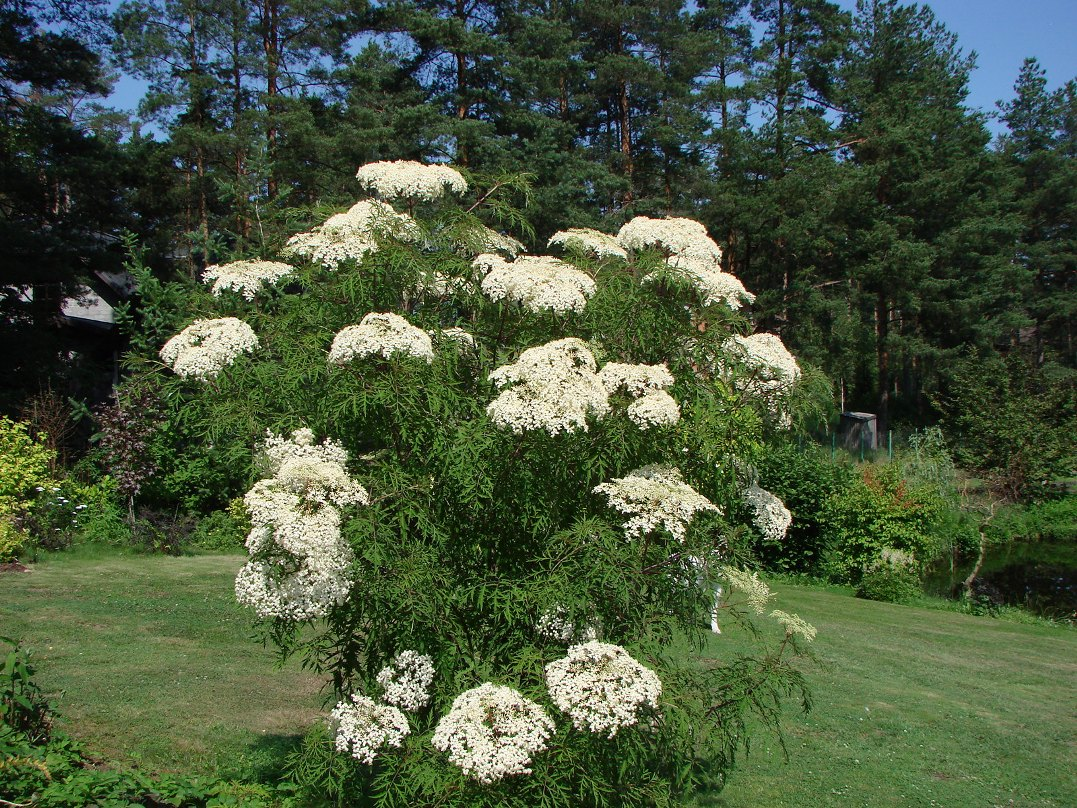 Sambucus nigra ``Laciniata``
