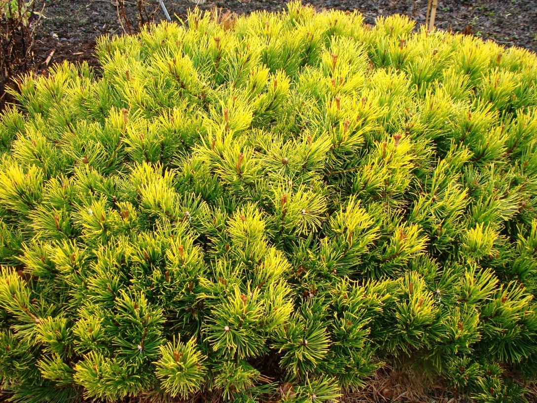 Pinus mugo  ``Ophir``