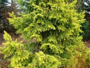 Picea omorica Aurea