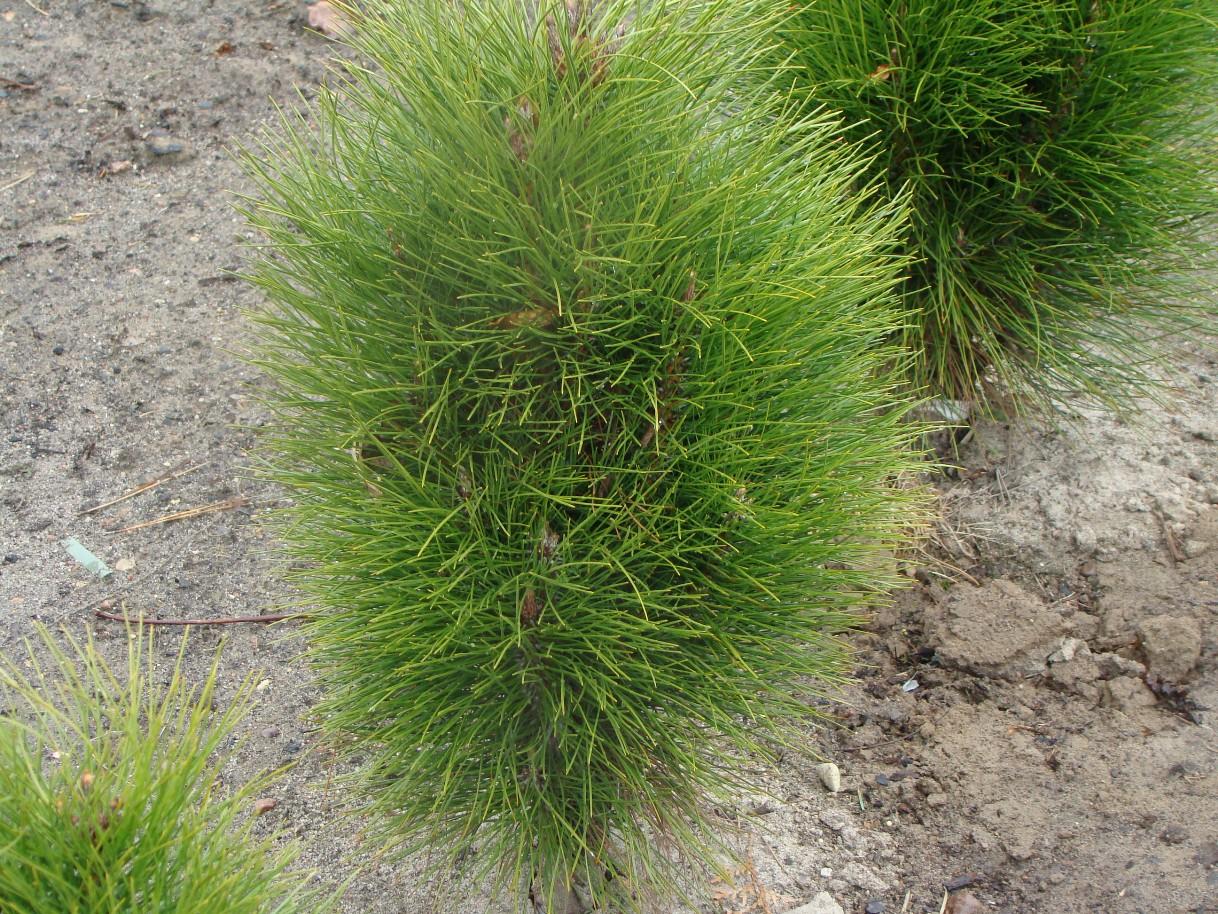 Pinus nigra ``Pyramidalis``