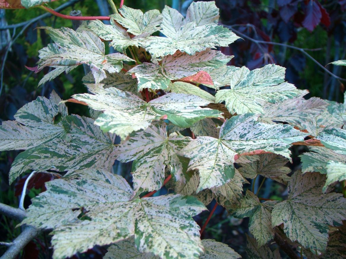 Acer pseudoplatanus ``Esk Sunset``