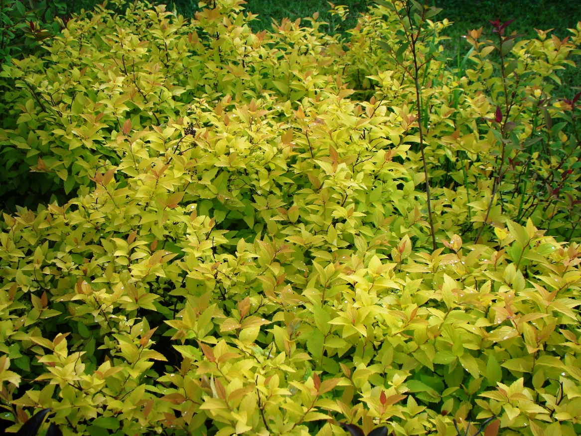 Spiraea japonica ``Candelight``