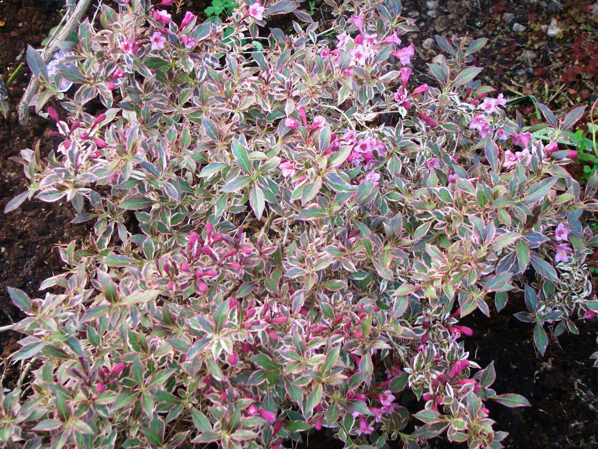 Weigela florida ``Monet``