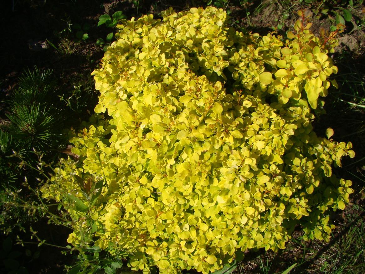 Berberis thunbergii ``Bonanza Gold``
