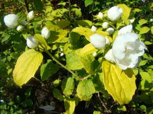 "Filadelfs ""Yellow Hill"", Philadelphus ""Yellow Hill"", Lepes"