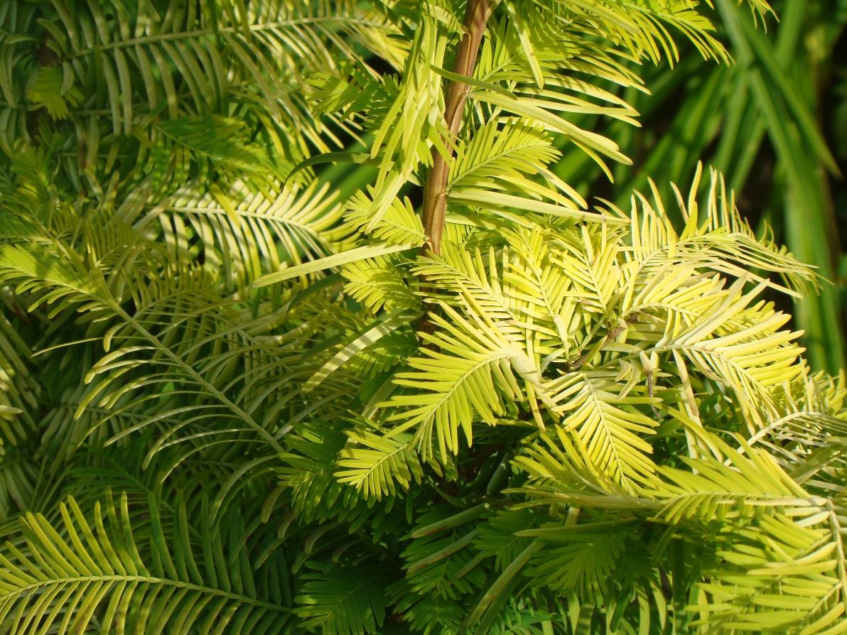 Metasequoia glyptostroboides ``Goldrush``