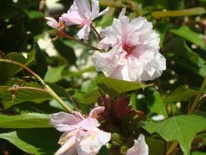 Kalnu ķirsis  Kanzan, Prunus serrulata