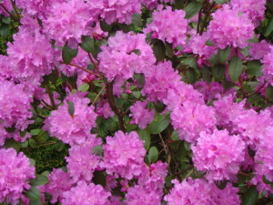 "Rododendrs ""P.J.Mezzitt"", Rhododendron""P.J.Mezitt"", Lepes"