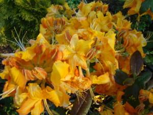 "Rododendrs ""Klondyke"", Rhododendron ""Klondyke"", Lepes"