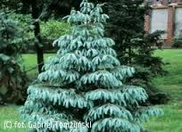 Picea engelmanii  Glauca