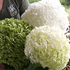 Hydrangea arborescens ``Strong Annabelle`