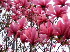 Magnolija Galaxy ,Magnolia