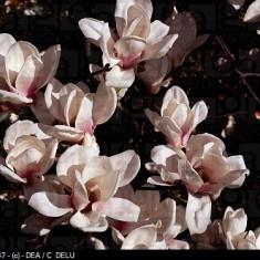 """Sulanža magnolija """"Speciosa"""", Magnolia x soulangeana """"Speciosa'"""""""
