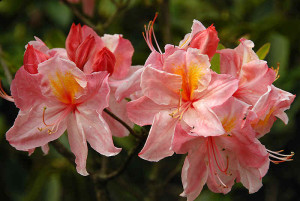 Rhododendron Chanel