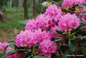 Rododendrs