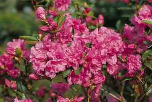 """Rododendrs """"Staccato"""", Rhododendron """"Staccato"""""""