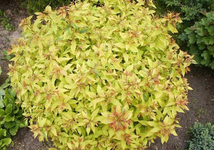 Spiraea japonica `Golden Princess`