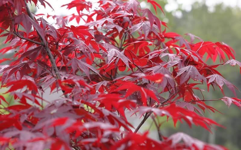 Acer palmatum `Fireglow`