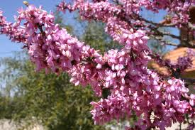 Cercis canadiensis