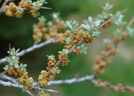Hippophae rhamnoides ``Pollmix``