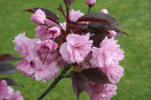 "Kalnu ķirsis ""Royal Burgundy"", Prunus serrulata ""Royal Burgundy'"""