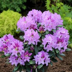 """Rododendrs """"Cunningham Bursault"""", Rhododendron """"Cunningham Bursault"""""""