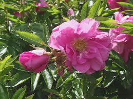 Rosa ``Darts Defender``