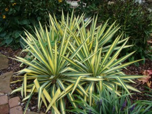 "Diegveida juka ""Color Guard"", Yucca ""Color Guard"", Lepes"