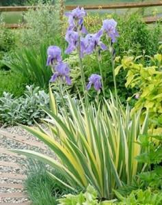 """Bālais īris""""Aurea variegata"""", Iris pallida """"Aurea Variegata"""""""
