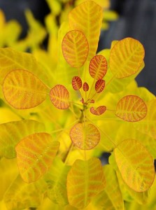 Cotinus cogg. Golden Lady