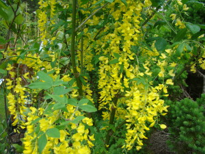 "Parastais zeltalietus ""Yellow Rocket"", Laburnum anagiroides ""Yellow Rocket"", Lepes"